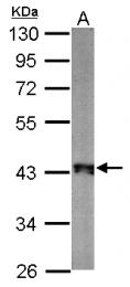 GTX124358 - Zebrafish tuba4l