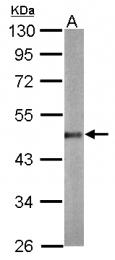GTX124400 - Beta-actin-1