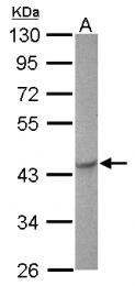 GTX124446 - Zebrafish MAPK3