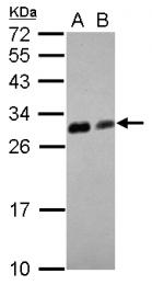 GTX124455 - Zebrafish ywhaq / 14-3-3 theta