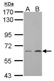 GTX124460 - Zebrafish GAD67