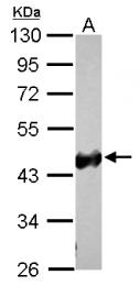 GTX124468 - Zebrafish ckba