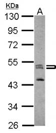 GTX124475 - Zebrafish Septin 7b