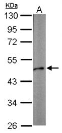 GTX124484 - Zebrafish alpha 1b Actin