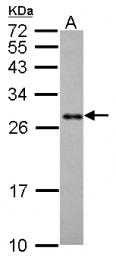 GTX124491 - Prohibitin / PHB