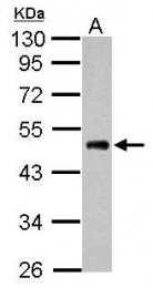 GTX124538 - EEF1A1 / LENG7