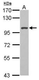 GTX124821 - TER ATPase / VCP