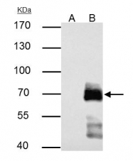 GTX125891 - Paxillin /  PXN