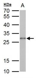 GTX125897 - Galectin-3