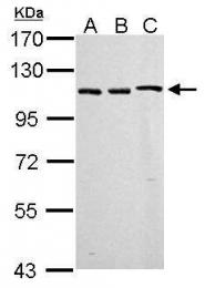 GTX125909 - CD284 / TLR4