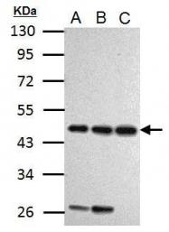 GTX125941 - Cyclin I