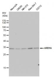 GTX125971 - NAA10 / ARD1A