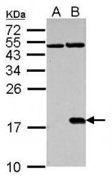 GTX127340 - Histone H2A.x