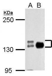 GTX127345 - Cadherin-2