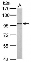 GTX127933 - Dynamin-3