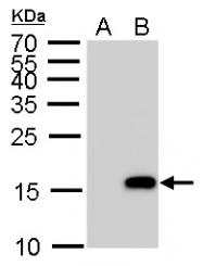 GTX128116 - Histone H3.1