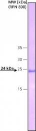 GTX13426 - C-reactive protein (CRP)