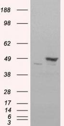 GTX13493 - Flotillin-1 / FLOT1