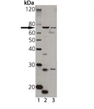 GTX13516 - ABCB2 / APT1 / TAP1