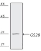 GTX13522 - GOSR1 / GS28