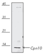 GTX13528 - HSP10