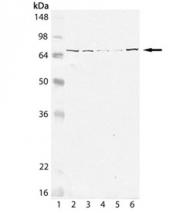 GTX13529 - Grp75 / HSPA9