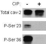 GTX13543 - Caveolin-2