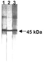 GTX13549 - CD95 / FAS