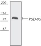 GTX13552 - DLG4 / PSD95