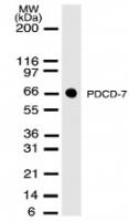 GTX13650 - PDCD7