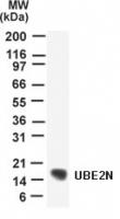 GTX13663 - UBE2N / BLU