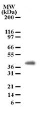 GTX13681 - PGLYRP4