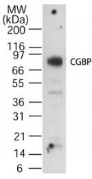 GTX13695 - CpG-binding protein