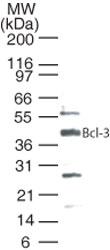 GTX13708 - Bcl-3