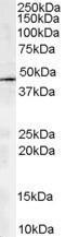 GTX13796 - Centractin alpha