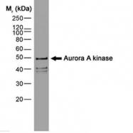 GTX13824 - Aurora kinase A