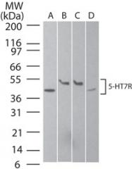 GTX13898 - Serotonin receptor 7 (HTR7)