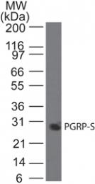 GTX13903 - PGLYRP1 / PGRPS