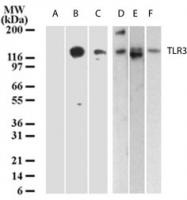 GTX13915 - CD283 / TLR3