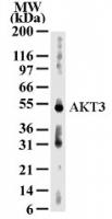 GTX13919 - AKT3 / PKB gamma