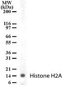 GTX13923 - Histone H2A