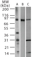 GTX13930 - CD282 / TLR2