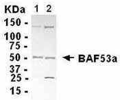 GTX13999 - ACTL6A / BAF53