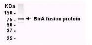 GTX14002 - Bifunctional protein birA