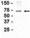 GTX14032 - CD221 / IGF1R