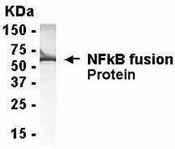 GTX14059 - NF-kB p105 / p50