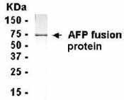 GTX14224 - Alpha-fetoprotein / AFP
