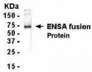 GTX14297 - Alpha-endosulfine (ENSA)