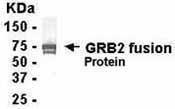 GTX14299 - GRB2  / ASH