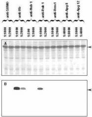 GTX14372 - Ubiquitin
